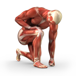 Muscles corporels